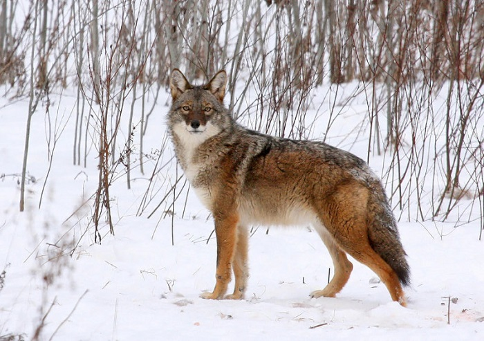 The urban wildlife webpage is a great tool for learning more about Wisconsin's coyotes.