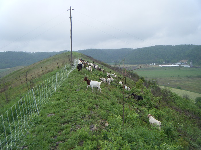 Prescribed fire and these grazing goats have helped beat back invasive brush at Hogback Prairies State Natural Area in Crawford County. Join a new volunteer team forming to help continue the progress at this site, home to several rare butterflies.