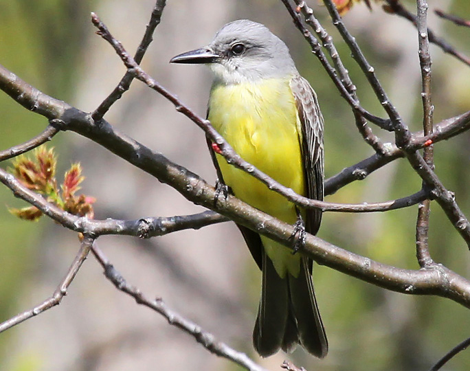 The tropical kingbird, a flycatcher that is extremely common in the American tropics but barely reaches the United States in Texas and Arizona, was reported by birders for the first time in Wisconsin in 2016.