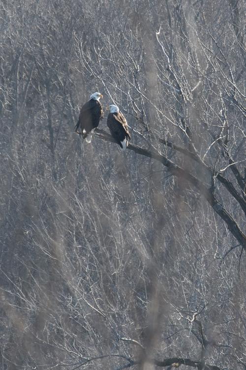 Bald eagles congregate along open water areas near the dam at Prairie du Sac.  - Photo credit: DNR