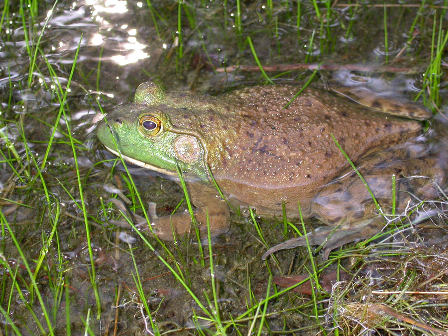 Volunteers for the Wisconsin Frog and Toad Survey have documented what appears to be a comeback by the state's largest frog, the American bullfrog.  - Photo credit: Andrew Badje