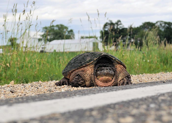 Crossing roads is one of the highest causes of turtle mortality,