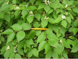 Amur honeysuckle - Wisconsin DNR