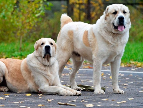 Alabai - one of the oldest breed of dogs - dntours ...