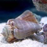 マガキガイの効果は絶大だった!底砂のシアノバクテリア問題は解決!