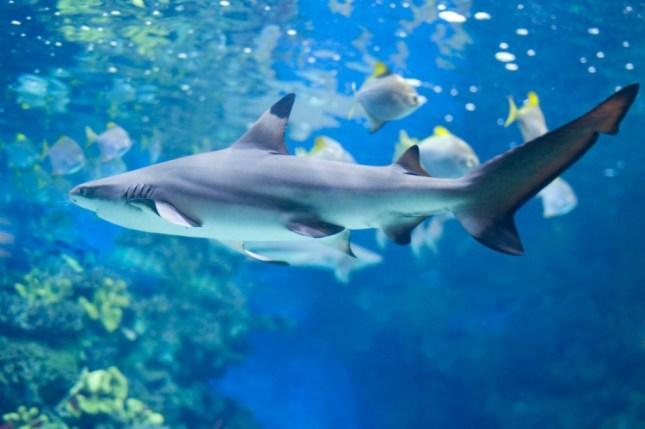 Reef-shark-1024x681
