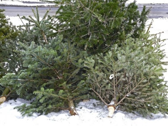 Used-Christmas-Trees-537x402