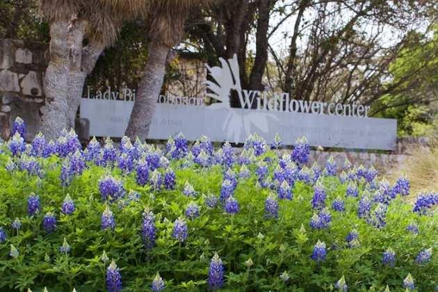 Wildflower Center Bluebonnets