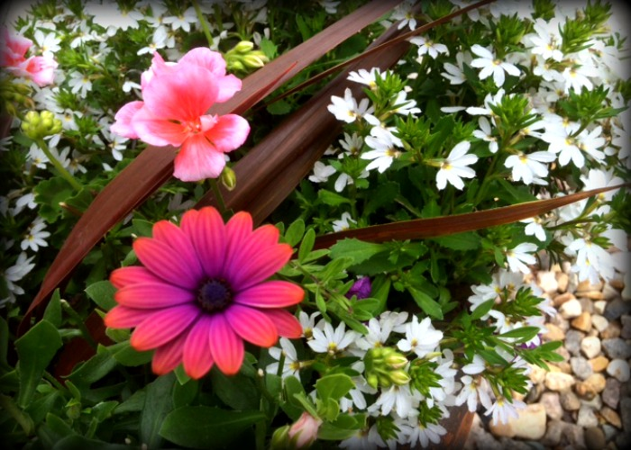 Purple Daisy 1