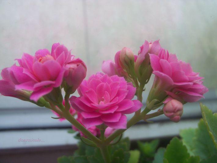 clipa roz