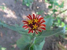 flower polen