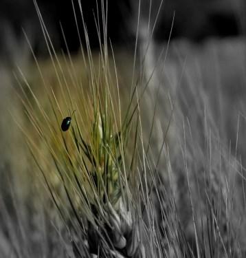 lady bird (male) on wheat