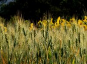 wheat & sunflower