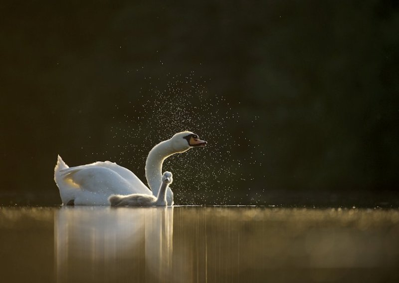 Mute swan Cygnus olor An adult with a young cygnet, backlit by evening sunlight, shakes water from its head Derbyshire, UK