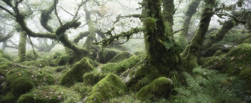 Fog inside an ancient oak forest, Wistmans Wood, Dartmoor, Devon