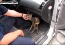 Policjanci uratowali małą sarenkę, która siedziała na środku drogi