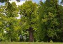 Polski dąb Józef został Europejskim Drzewem Roku 2017