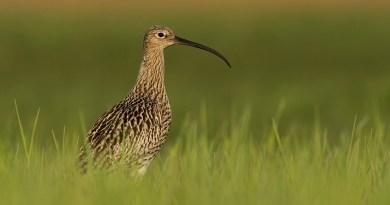 Wyszukiwanie ptasich gniazd i podmienianie jaj na drewniane atrapy… to nie opis chuligańskich wybryków, lecz sprawdzony sposób ochrony lęgów kulika wielkiego