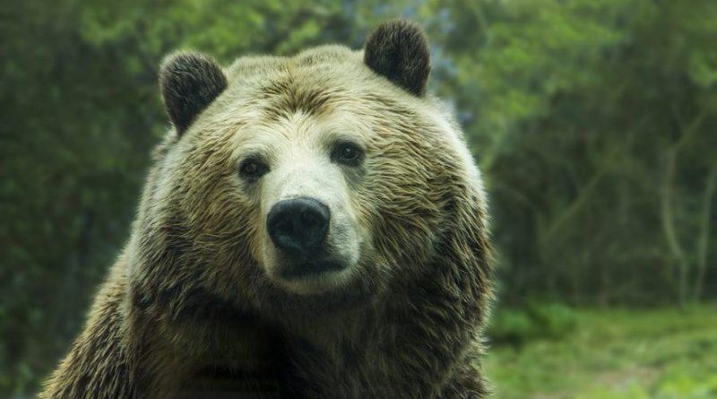 Niedźwiedzica z młodymi szła prosto na leśniczego. Ten wykazał się opanowaniem i zareagował w niezwykły sposób