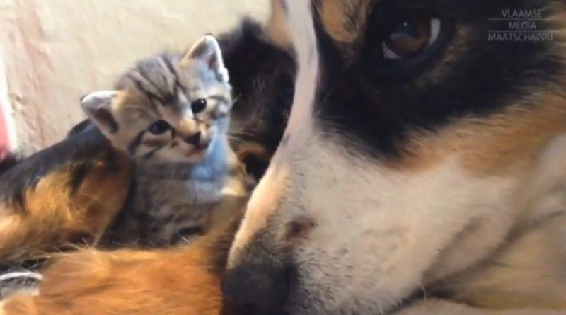 Suczka karmi małe kotki odrzucone przez matkę