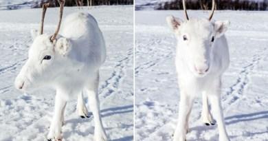 Fotograf podczas pieszej wycieczki spotkał niezwykle rzadkiego, białego renifera