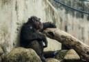 """Szympans zbudował ze """"wspólnikami"""" drabinę i uciekł z wybiegu"""