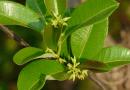 Cryptolepis sanguinolenta – prawdopodobnie najbardziej skuteczna roślina w przypadku lekoopornych zakażeń
