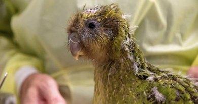 Lekarze przeprowadzili operację mózgu na papudze zagrożonej wyginięciem