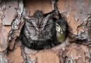 Sowa wychowuje małe kaczątko przez pomyłkę, uznając niezidentyfikowane jajo za własne
