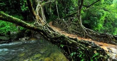 W Indyjskim stanie Meghalaya ludzie od 500 lat budują żywe mosty