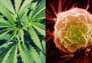 Według naukowców konopie mogą być lepsze niż chemioterapia w walce z rakiem