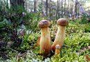 Nowy grzyb w lasach. Rośnie go tyle, że ludzie wracają z pełnymi koszami