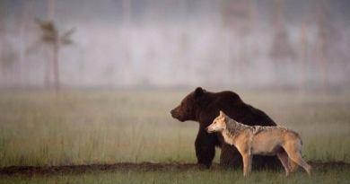 Niezwykła historia przyjaźni wilka szarego i niedźwiedzia brunatnego