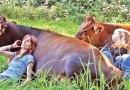 Przytulanie się do krów – nowy trend w odnowie biologicznej z bardzo pozytywnym wpływem na zdrowie