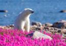 Kanadyjski fotograf robi niezwykłe zdjęcia niedźwiedziom polarnym bawiącym się na polach kwiatowych