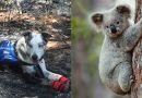 Został porzucony przez właścicieli.  Teraz ratuje koale z płonących lasów