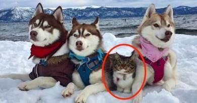 Ten kot został uratowany i wychowany przez husky. Teraz uważa się za dużego i odważnego psa