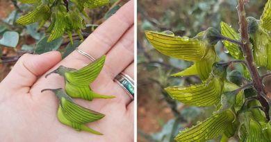 Płatki tego niesamowitego kwiatu przypominają kolibry