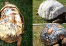 Ranny żółw, który stracił muszlę w wyniku pożaru, otrzymuje pierwszą na świecie skorupę, wydrukowaną w technologii 3D
