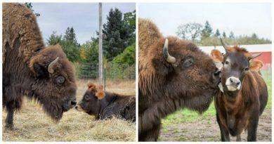 Ciekawskie cielę zaprzyjaźnia się z samotnym, niewidomym bizonem i zmienia jego życie