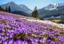 Tatrzański Park Narodowy chce pokazać ludziom krokusy przez internet