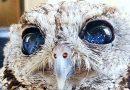 Oczy tej niewidomej sowy to okna na wszechświat. Niesamowite!
