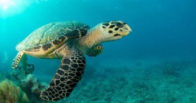 Zagrożone wyginięciem żółwie wyszły na puste plaże