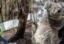 Uratowane misie koala powoli wypuszczane są z powrotem na łono natury w Australii
