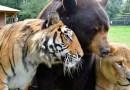 Niedźwiedź, lew i tygrys nie rozstają się już od 15 lat