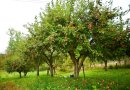Naturalny słodzik z odpadowych owoców