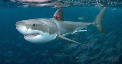 Prawdziwa odwaga. Mąż z gołymi rękami rzucił się na ratunek żonie zaatakowanej przez rekina żarłacza