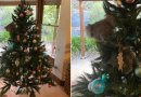 Australia: Koala wszedł do domu i usiadł na choince
