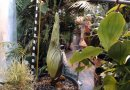 Dziwidło olbrzymie zakwitnie już niedługo w Polsce. Ogród botaniczny udostępnił transmisję online