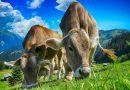 """Krowy prowadzą ze sobą ciekawe """"rozmowy"""" na pastwiskach"""